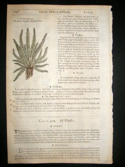 Gerards Herbal 1633 Hand Col Botanical Print. English Maiden Hair Fern | Albion Prints